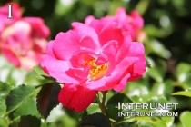 beautiful-pink-rose