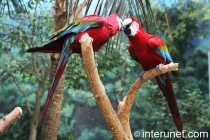 beautiful-red-parrots-kissing