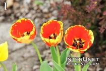 beautiful-red-yellow-tulips