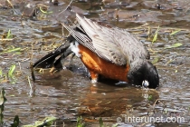 american-robin-in-the-water