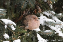 bird-on-the-spruce-tree-in-the-winter