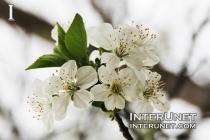 blooming-cherry-tree