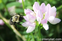 bumblebee-landing-on-flower