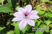 Clematis 'Dutchess of Edinburgh' Ranunculaceae