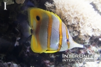 copperband-butterfly-fish