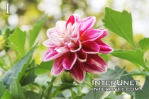 Pink Yellow Eye Dahlia
