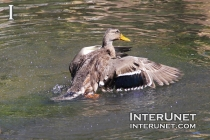 duck-landing-on-the-pond