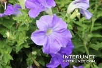 flower-purple-beautiful