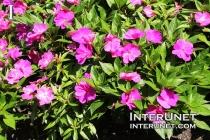 flowers-purple