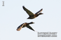 flying-ducks