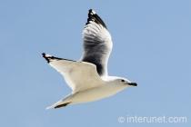 flying-seagull
