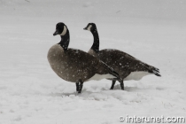 geese on the snow