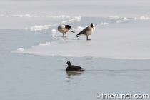geese-on-frozen-lake