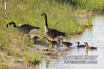 geese-with-babies