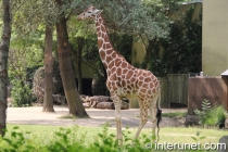 giraffe-in-zoo-habitat