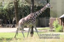 giraffe-in-Brookfield-Zoo