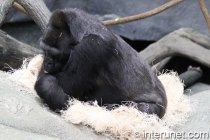 gorilla-sleeping