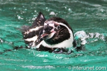 humboldt-penguin-swimming