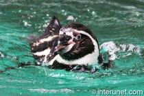 humboldt-penguin-swimming