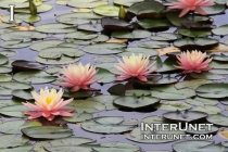 pond-with-water-lilies