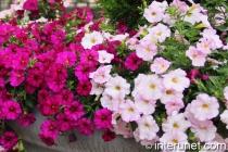 nice-flowers