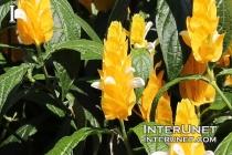 Pachystachys lutea, Golden Candle Plant