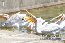 pelican-is-catching-fish