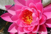 pink-water-lily-with-dragonfly