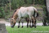 przewalski's-horse
