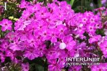 Phlox paniculata 'Barfourteen' Purple Flame
