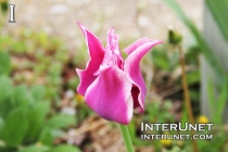 purple-tulip