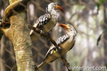 two-red-billed-hornbills