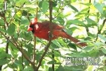 red-bird-on-the-tree