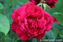 red-rose-after-rain