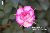 rose-pink-white