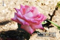 Pink-Meidiland-rose