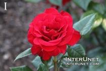 rose-red-amazing