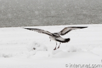 seagull on the snow