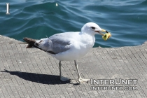 seagull-eating-apple