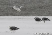 seagull-landing-on-the-snow