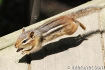 siberian-chipmunk-in-the-air