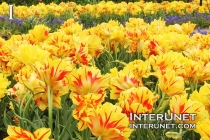 field-of-beautiful-tulips