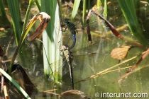 two-dragonflies
