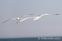 two-flying-seagulls