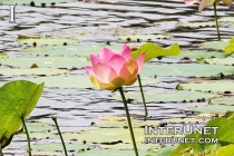 water-lily-on-the-pond