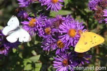 white-and-yellow-butterflies-on-flowers