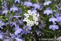 white-blue-flowers