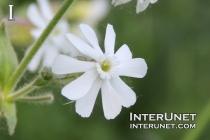 white-flower-wild