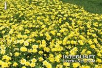 yellow-chamomile