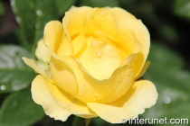 yellow-rose-during-rain
